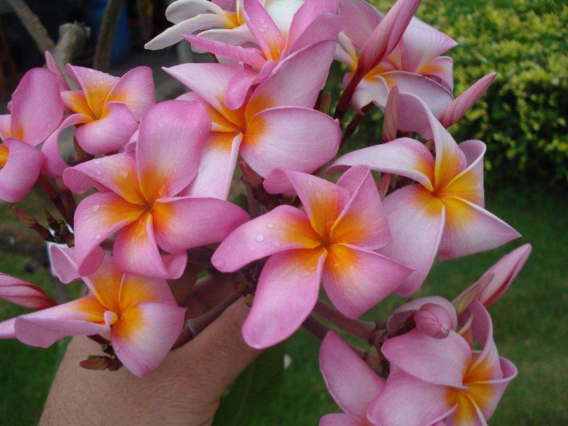 Thai Flowers 7