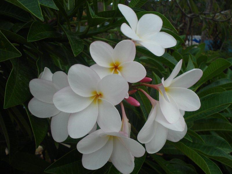 Thai Flowers 6