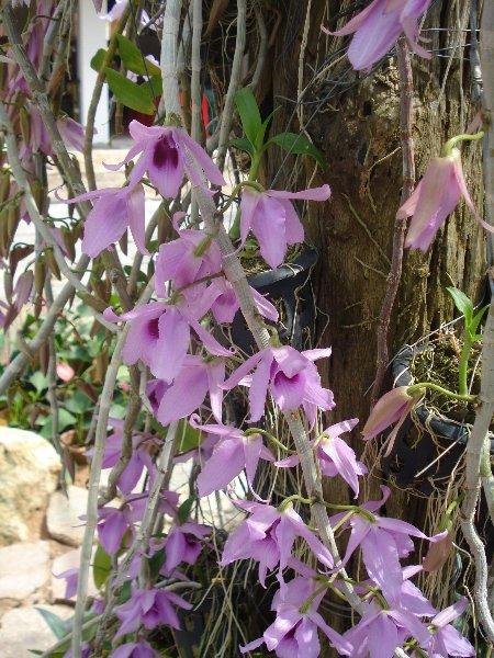 Thai orchids 4
