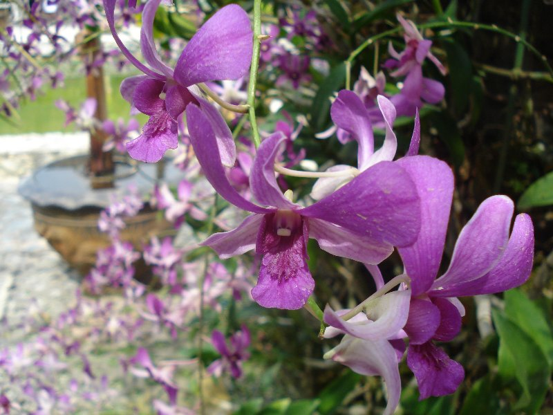 Thai orchids in purple and white