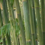 Fresh bamboo on the family farm