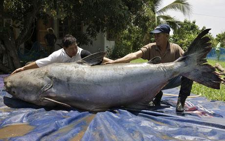 Giant Catfish in Thailand