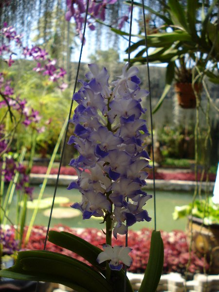Thailand Orchids